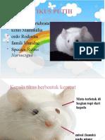 2007 Tikus Putih (Rattus Norvegicus)