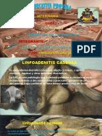zoonosis linfoadenitis
