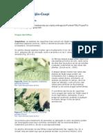 Cultivo de Feijão-Caupi(pragas)
