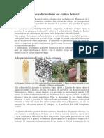 Principales enfermedades del cultivo de maíz