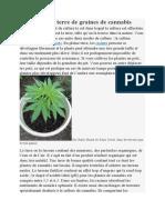 La Culture en Terre de Graines de Cannabis