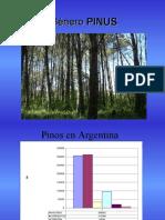 clasificacion-de-pinos