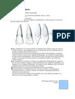 Morfología dentaria