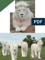 El Sagrado Leon Blanco Los Sagrados Leones Blancos Los Hijos Del Dios Sol