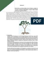 semana 2 Cultivo de la Yuca. Taxonomía. Morfología. Fisiología