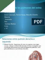 Anatomía de Los Pulmones Del Ovino. H,S,M