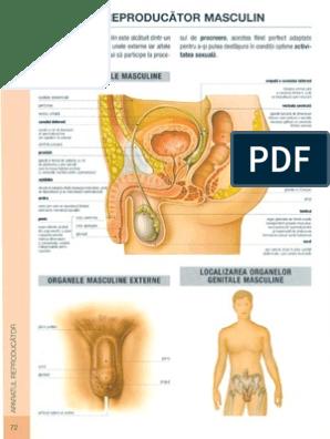 structura organelor masculine în erecție
