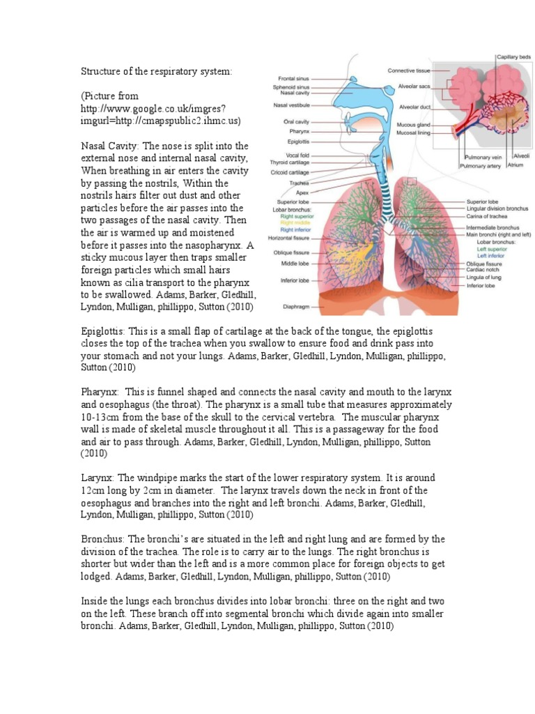 Structure Of The Respiratory System Respiratory Tract Lung