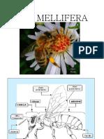 apis_mellifera