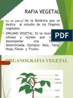 CLASE (4) - ORGANOGRAFIA VEGETAL