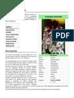 Orchis_ustulata