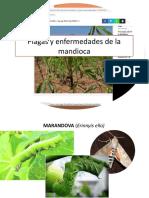 Plagas y Enfermedades de La Mandioca