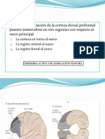 area prefrontal