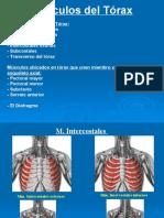 Clase 14[1]. Músculos del Tórax y Abdomen (PPTshare)