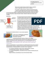 Anatomía corazón 3