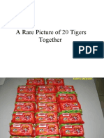 A_Rare_Picture_of_20_Tigers_Together