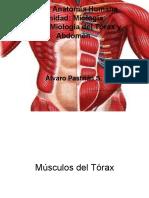 Miología del tórax y abdomen