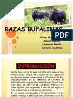 Expo Razas Bufalinas