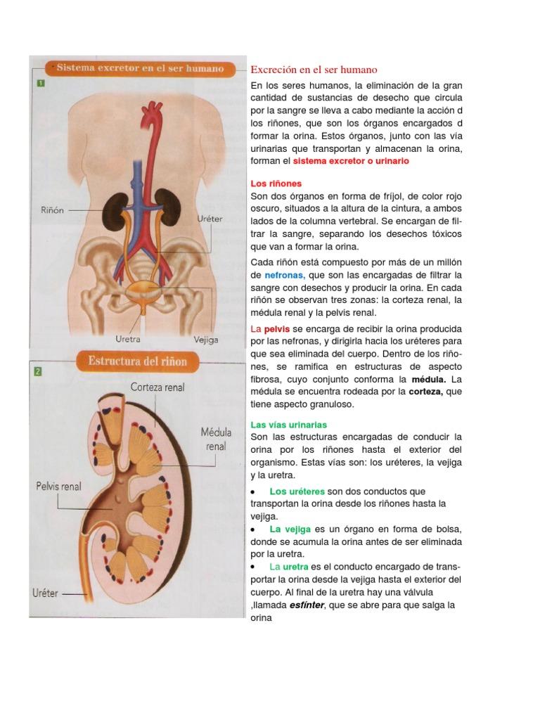 Hermosa Foto De Diagrama De Los órganos Del Cuerpo Embellecimiento ...