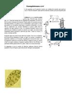 Paramphistomum cervi