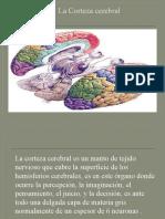 La Corteza Cerebral EXPO
