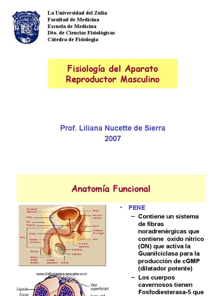 Medicina - Fisiologia Gonadas Masculinas