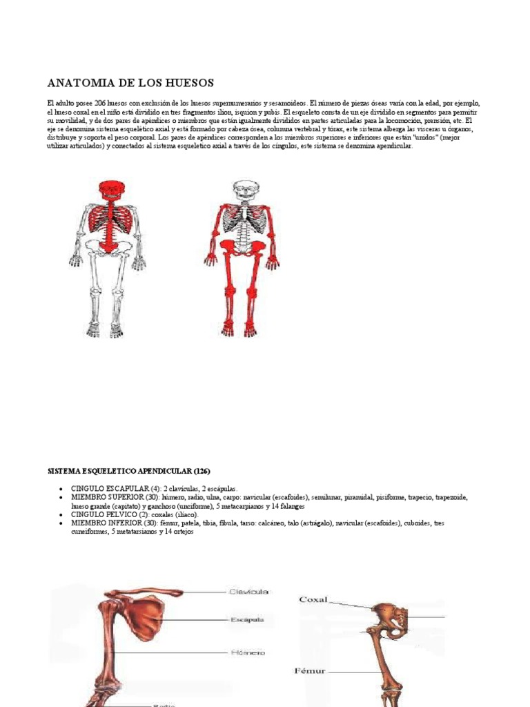 Anatomia de Los Huesos y Musculos