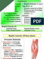 Musculos Del Antebrazo