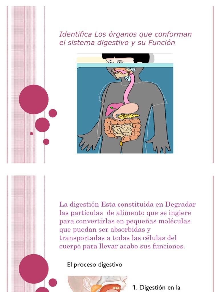Los órganos que conforman el sistema digestivo y su Función