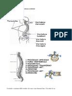 Anatomia e Fisiologia Della Colonna Vertebrale