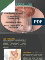 Diapositivas de Anatomia Testiculos (3)Gresly