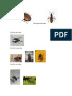 familia reduviiidae