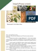 Cires (Prunus avium)
