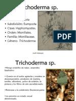 Trichoderma sp