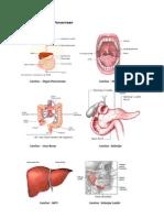 Gambar Organ Pencernaan