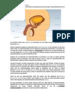 Los órganos genitales del hombre