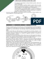 Ciclo Celular - Duplicacin Del Adn y Regulacion