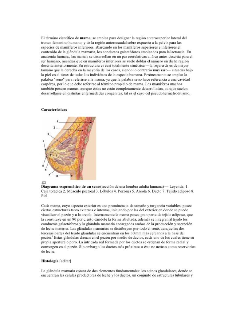 El término científico de mama