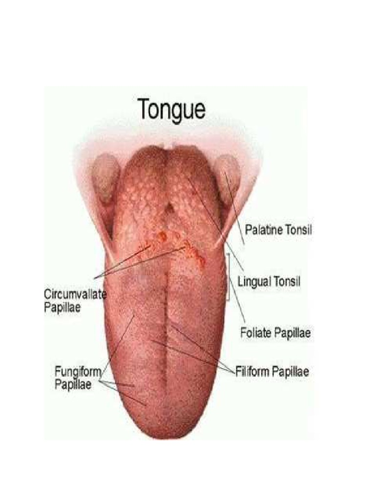 Parts Of The Tongue And Their Function