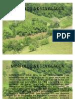 Morfologia de La Guadua