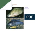 Especies Utilizadas en Acuacultura Mojarra Tilapia