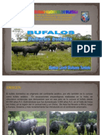 GANADERIA - BUFALOS