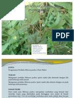 Pengamatan Perilaku Mimosa Pudica (Putri Malu)