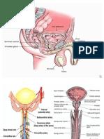 Anatomi Penis 2