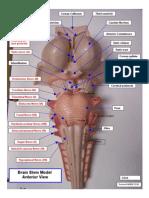 Brain Stem Model, Anterior 041208 -1