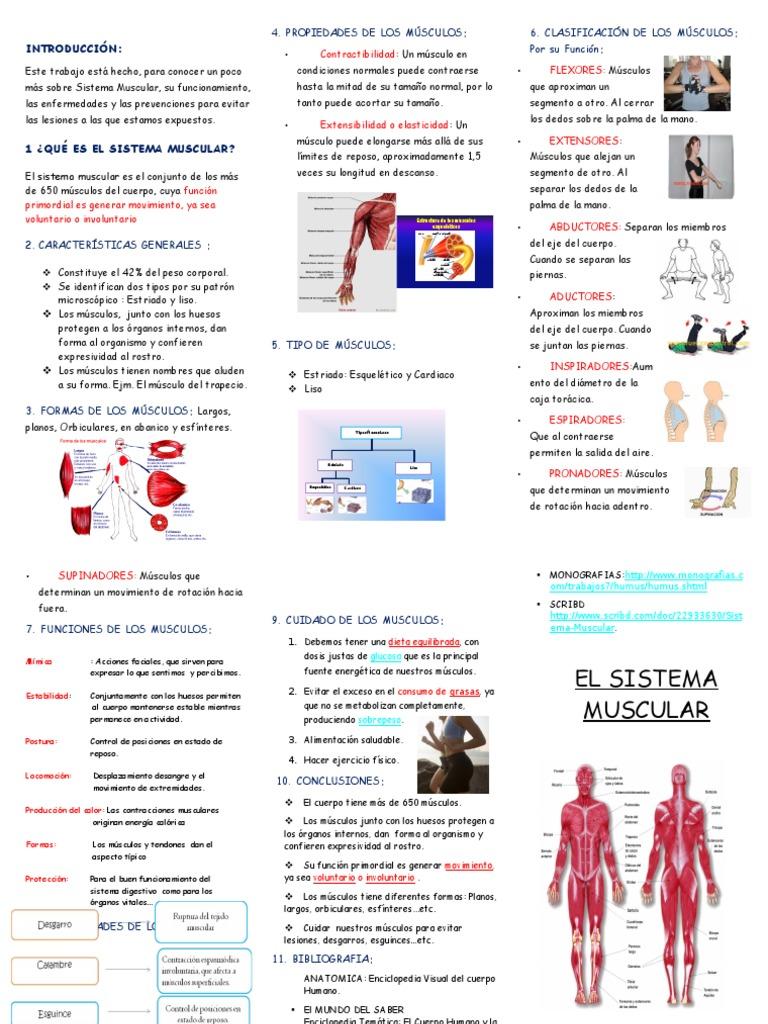 Triptico El Sistema Muscular