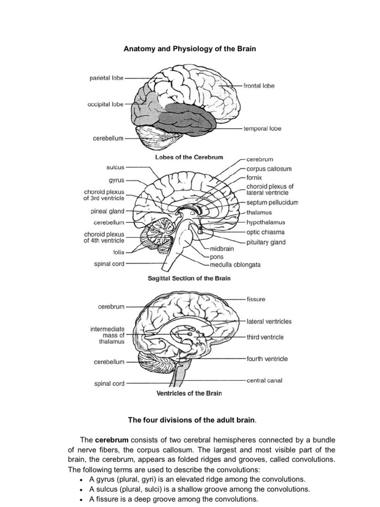 Anatomy and Physiology of the Brain | Cerebrum | Cerebral Cortex