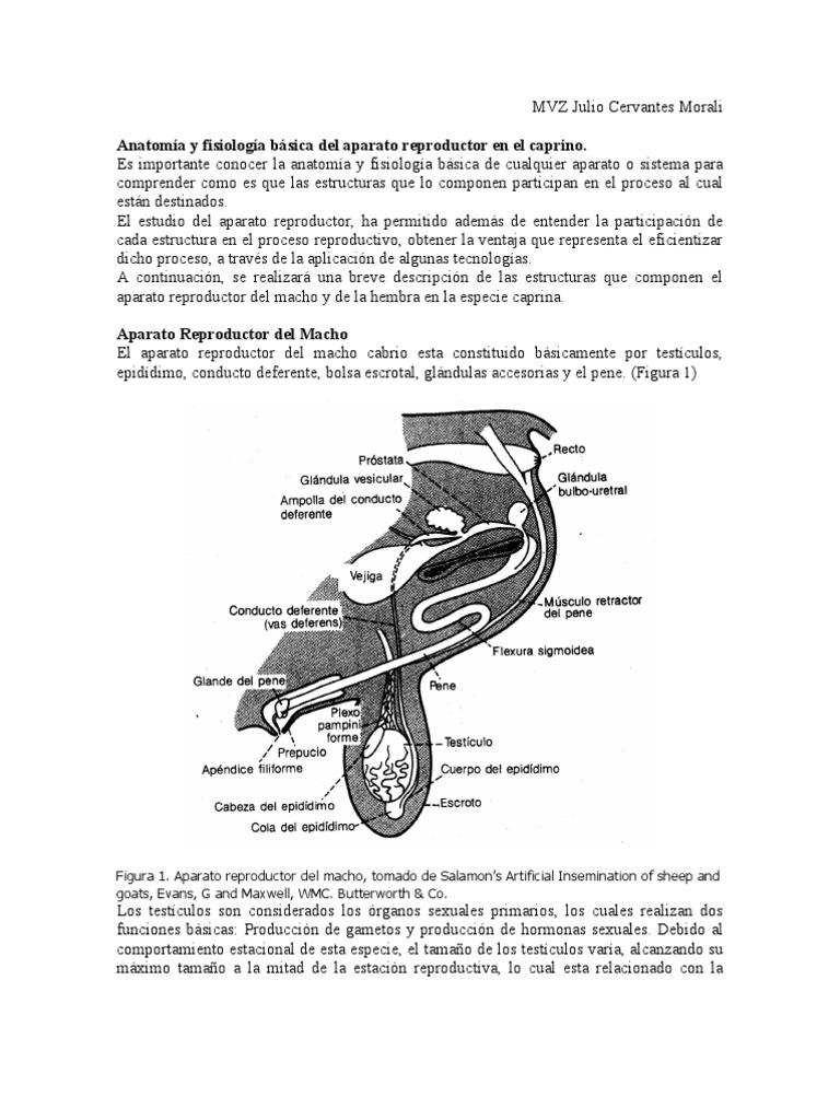 Excepcional Diagrama Hembra Sistema Reproductivo Componente ...