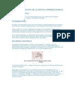 Anatomia y Funcion de La Corteza Cerebral Humana