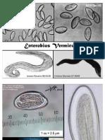 enterobius vermicularis 1